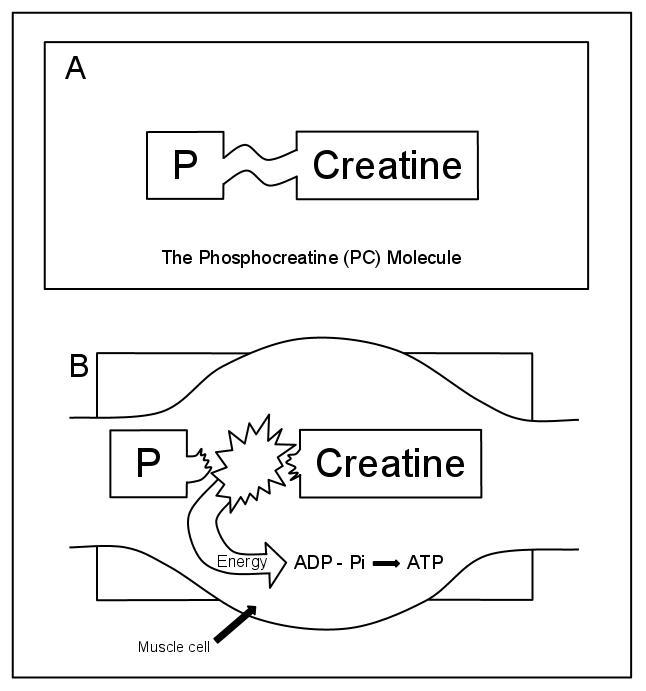 creatine adp atp