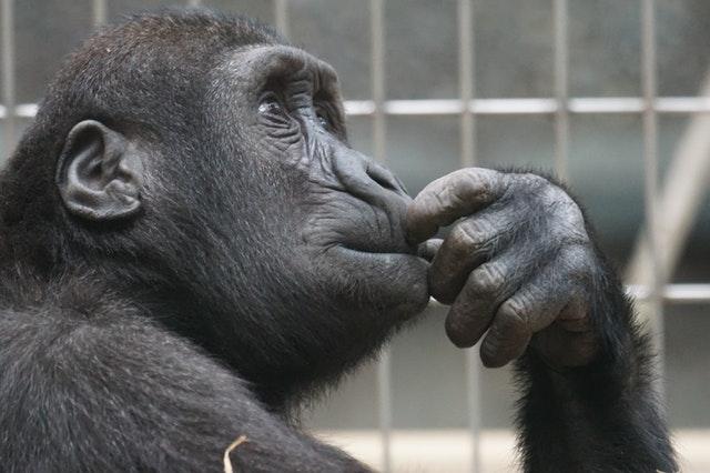 a thinking monkey