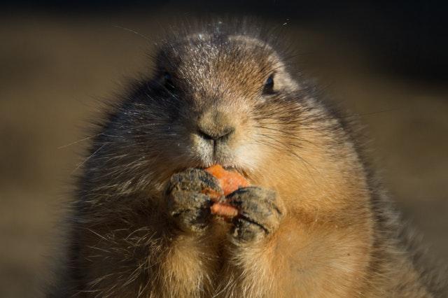 animal eating carrot