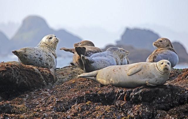 seals resting rock ocean