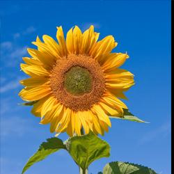 sunflower thumb
